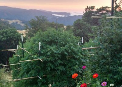 CannabisFruityFuely